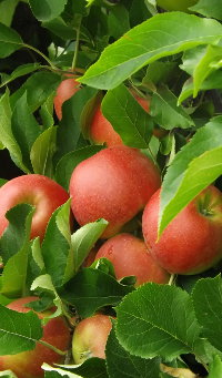 Apples in Tettnang.