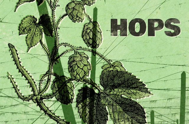 Illustration: hops.