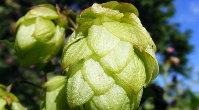 Hop Varieties in British Bottled Beer