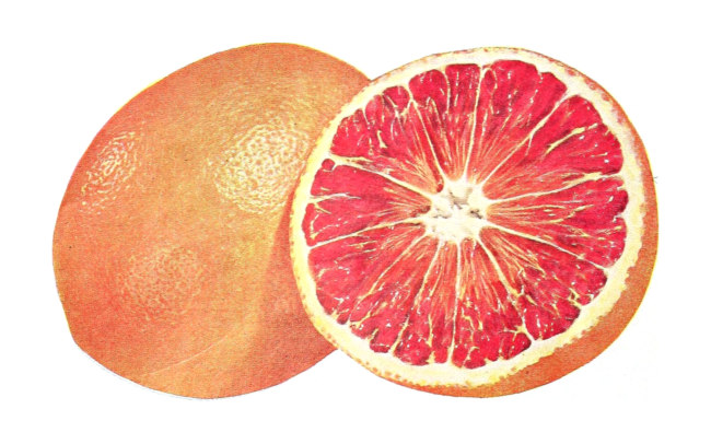 Grapefruit from a 1953 US government publication.