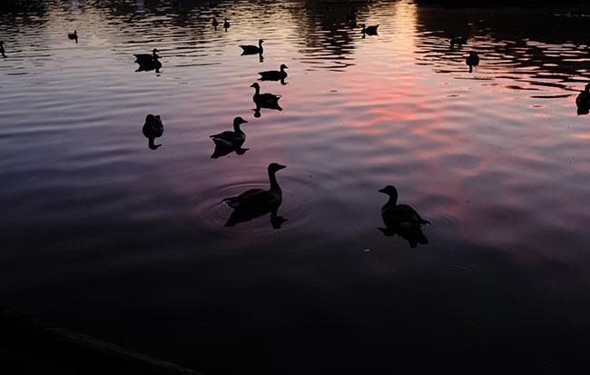 Ducks at the Michaeligarten